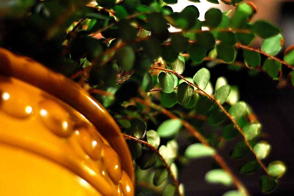 gardening-for-the-winter-potted-fern